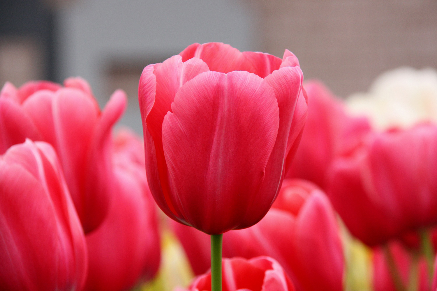 Pink-Tulips-Flowers-11